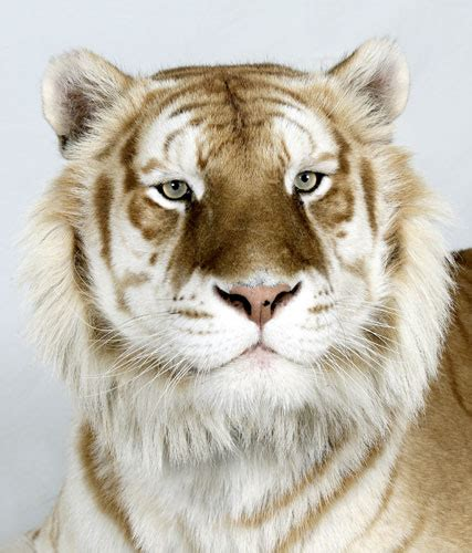 Simple Celavia Golden Tabby Tiger