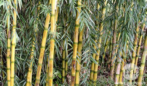 comment arroser un bambou