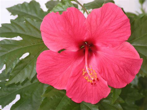 Hibiscus Flower Backgrounds by Hibiscus Hd Wallpaper Background Image 2272x1704 Id