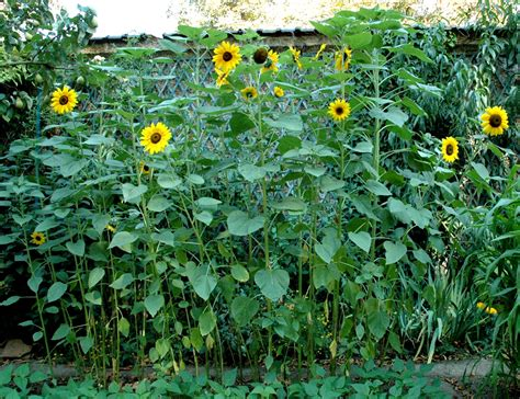 planter des graines de tournesol en pot tournesol planter et cultiver ooreka