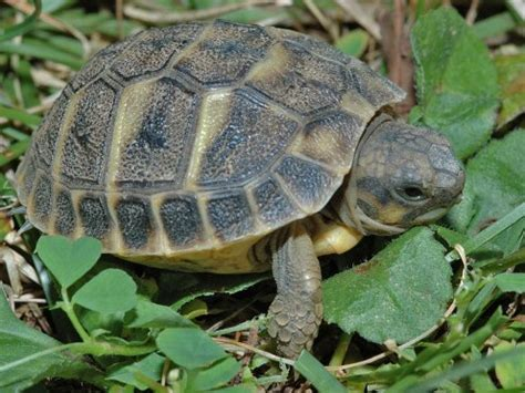 tartaruga terrestre alimentazione tartaruga wikifur