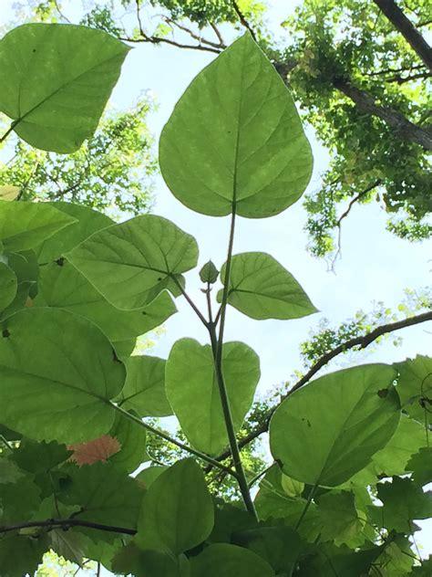 Empress Royal Paulownia Tree Stick Only Sex Website