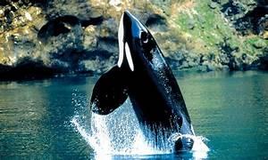 Wild Alaska Orca Travel 8 22 2012