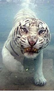White tiger swimming | Animals, Animal pictures, Zoo animals