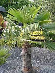 Kanarische Dattelpalme Kaufen : trachycarpus fortunei chinesische hanfpalme g nstig ~ Lizthompson.info Haus und Dekorationen