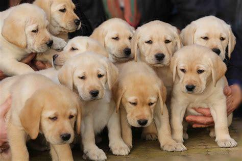 vente labrador paca labrador 224 vendre eleveur labradors retriever 224 trets 13530 chiots
