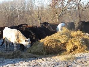 Snow! How Do Cows Stay Warm in Winter? - Clover Valley Beef