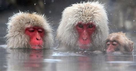 Monkeys Toast Xmas As Mini Humans Relax In Hot Tubs Party Daily Star