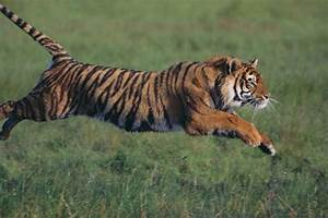 Bengal Tiger Running in Grass Photographic Print by DLILLC ...