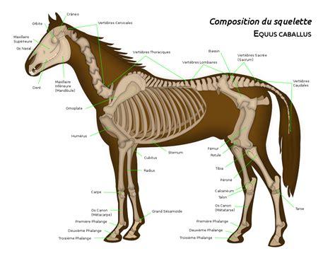 filehorse anatomy frsvg wikimedia commons