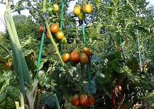 Tomaten Selber Ziehen : tomaten pflanzen anleitung f r eine gesunde kultur ~ Whattoseeinmadrid.com Haus und Dekorationen