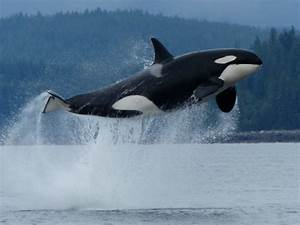Flying Orca Whales – Which is Best? (Sunday Musings ...