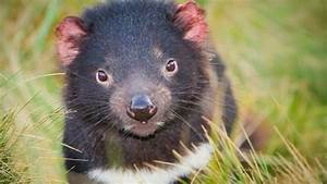 Tasmanian devil cancer vaccine 'a step closer' - BBC News