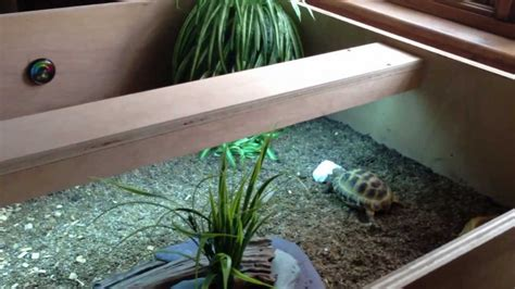 horsfield tortoise table  care youtube