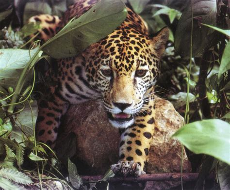 help the rainforests : About animals in the Rainforest