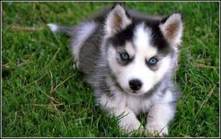 Huskies Puppies with Blue Eyes