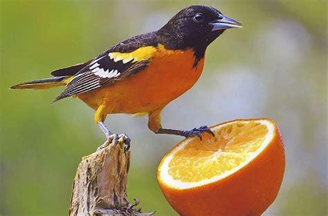 feeding birds with oranges feeding birds with oranges