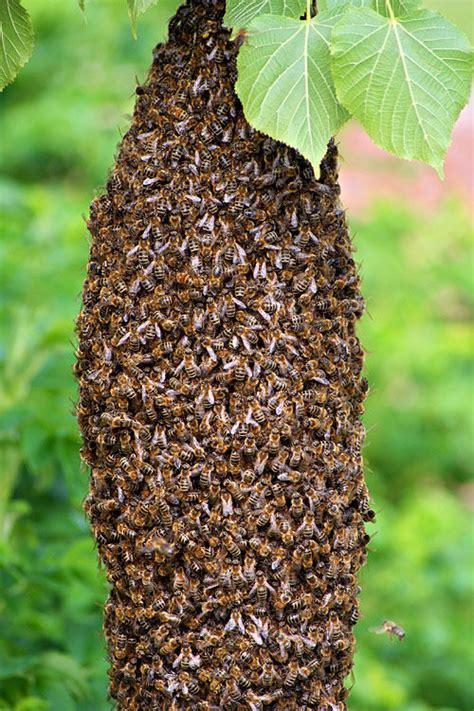 bienenvolk kaufen bienenvolk foto bild tiere wildlife insekten bilder