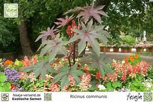 Ricinus Communis Kaufen : afrikanischer wunderbaum ricinus communis samen fesaja ~ Michelbontemps.com Haus und Dekorationen