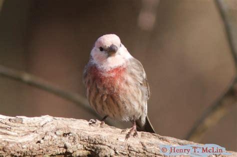 house finch birdwatching