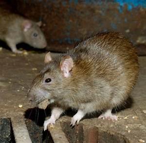 Wie Vertreibt Man Ratten : eklige invasion rom erlebt eine nie dagewesene rattenplage welt ~ Eleganceandgraceweddings.com Haus und Dekorationen