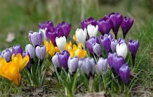Tulpenzwiebeln Im Topf Pflanzen : hinweise zum krokus pflanzen in den rasen oder in einen ~ Lizthompson.info Haus und Dekorationen