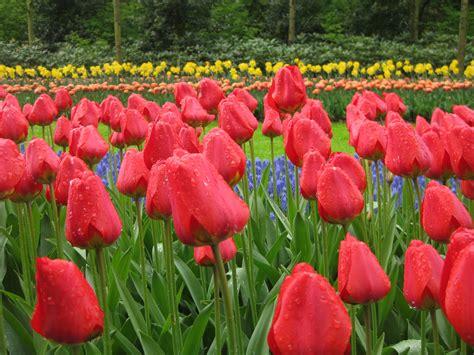 tulip gardening tulip garden amsterdam