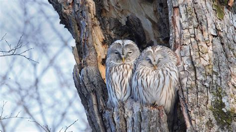winter owls bing wallpaper