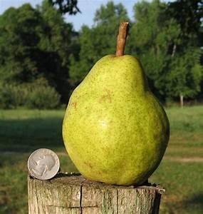 Century Farm Orchards: Pear Trees  Pear