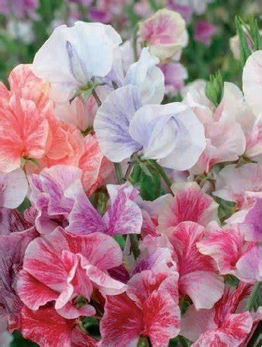 fiori di pisello piselli odorosi in vaso idee green