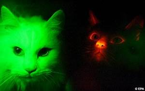 Cloned cats glow red in the dark | Daily Mail Online