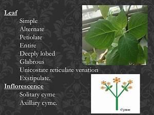 Solanaceae taxonomy