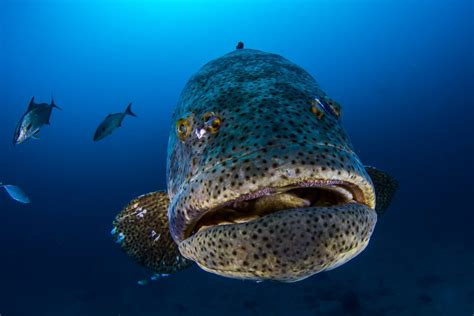 grouper goliath florida lose protection catch usa information www2 padi