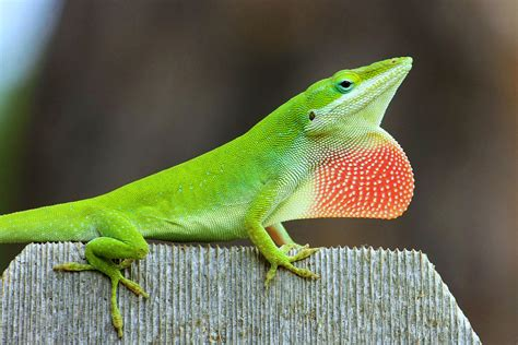 privacy fence anole dewlap display a carolina anole proudly displays