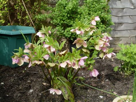 transplanting hellebore seedlings hellebore seeds grows on you