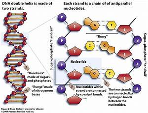 Structure And Replication Of Dna