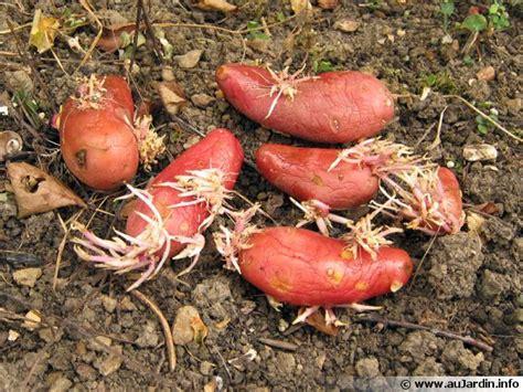 cuisiner des pommes de terre nouvelles la multiplication des tubercules