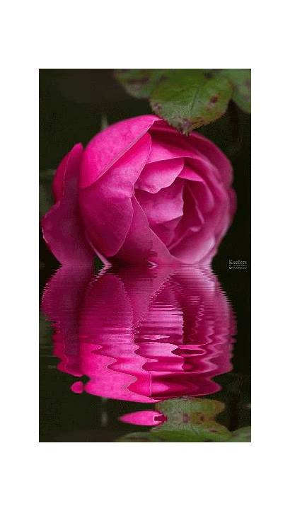 Water Reflections Flowers Animated Rose Gifs Reflection