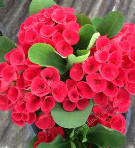 Red Carpet Roses by Welcome To L Amp P Farm King Of Euphorbia Milii