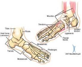 Plantar Foot Anatomy