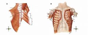 Study Guide  Appendicular Muscles