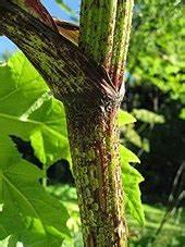 Heracleum mantegazzianum - Wikipedia