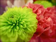 Best puff ball ideas and images on bing find what youll love white puff ball flowers mightylinksfo
