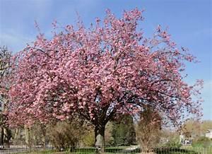 Planter Un Cerisier : cerise et cerisier planter un cerisier jardinage bio ~ Melissatoandfro.com Idées de Décoration