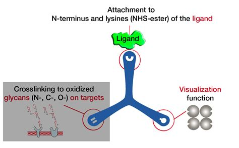 Ligand-receptor capture technology, LRC-TriCEPS living cells