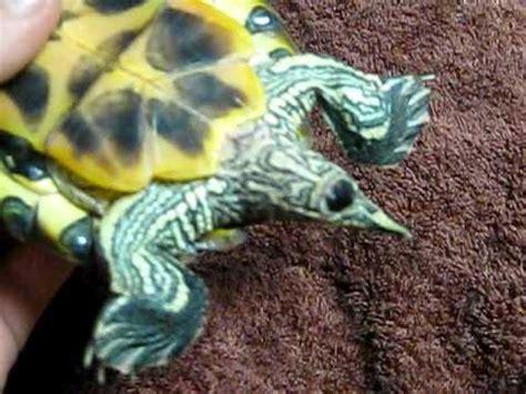 turtle poop  turtle genitals youtube