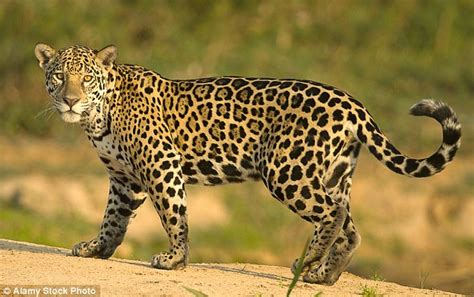 Jaguar Photo by The Meaning And Symbolism Of The Word Jaguar