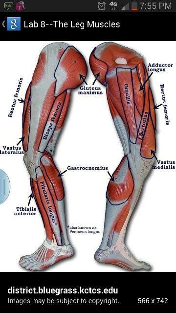 The muscular system is responsible for the movement of the human body. Pin by Nicole Ryan on BODY (With images) | Human muscle anatomy, Leg muscles diagram, Leg ...