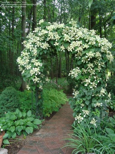 Climbing Hydrangea  Tolerates Part Shade, Though Blooms