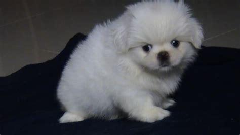 white pekingese puppies  sale animals pekingese